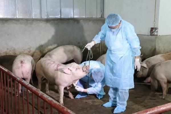 Dịch tả lợn châu Phi xuất hiện ở Khánh Hòa